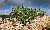 Opuntia cactus on a stone wall, Malta