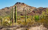 Saguaros in the Organ Pipe Cactus National Monument