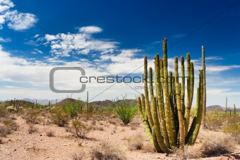 Saguaros in the Organ Pipe Cactus National Monument