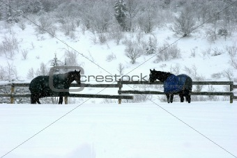 Blanketed horses