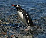 Gentoo penguin washing