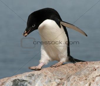Adelie Penguin 2