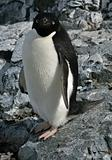 Adelie Penguin 3
