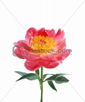 Bright pink peony flower isolated on white background