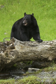 America Black Bear