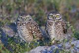 Pair of Burrowing Owls