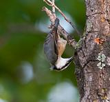 Eurasian Nuthatch