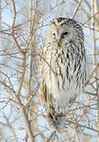 Ural Owl