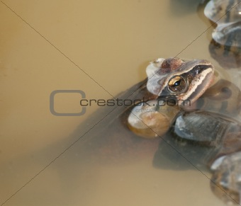 Amur Toad or Frog