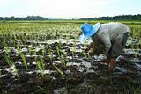 Farmer and Rice Field