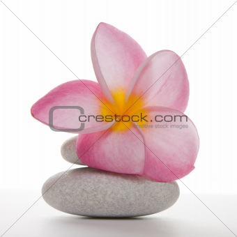 Frangipani flower on White Pebbles