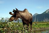 Moose in Alaska
