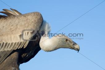 Eurasian Vulture