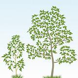 Poplar Tree