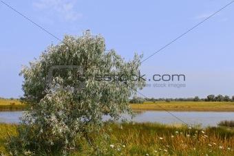 Wild olive tree above salt lake