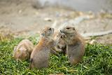 Prairie dogs