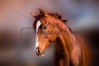 Portrait of beautiful red stallion