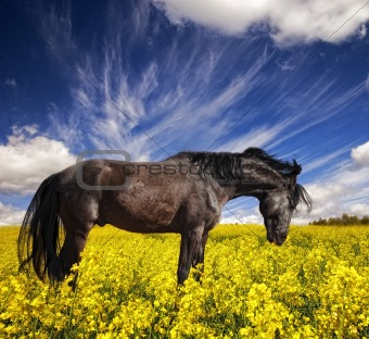 Black stallion in a rapeseed field