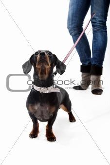 Dachshund on a leash