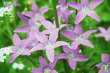 purple bell flowers