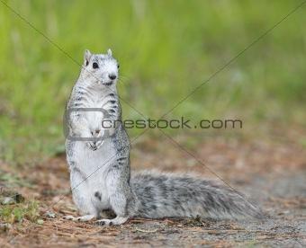 Delmarva Peninsular Fox Squirrel
