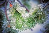 Closeup of a pine tree after frozen rain.