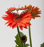 Butterfly on Gerbera Daisy