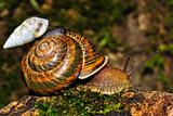 Small snail goes astride the big