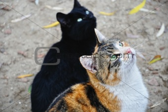 Cat and its shade (Two Cats)