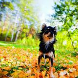 Long-hair Chihuahua dog in a park