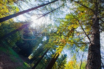 Autumn forest with Larches alley