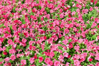 A lot of pink flowers