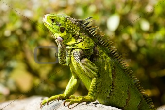 calm Iguana