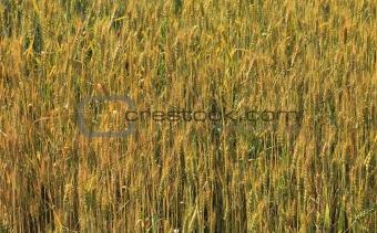 Cereals field