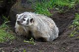 American Badger