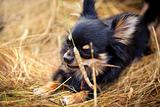 Long-hair Chihuahua dog outdoor portrait