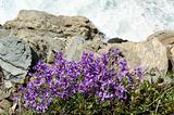 Violet Flowers On The Rocks