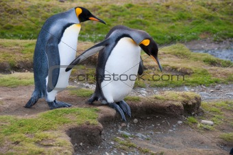 Cautious King Penguins