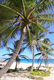 Caribbean coconut palm trees  tuquoise sea