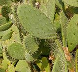 Opuntia,prickly pears