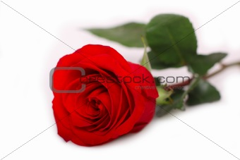 One beautiful red rose
