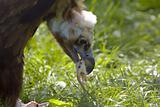 black vulture eating meat