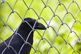 Crow behind wire