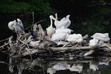 Pelican nest on lake