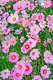 Field of pink flower