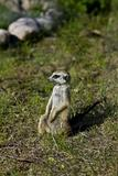Meerkat - suricate on grass