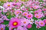 Field of pink flower