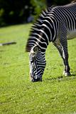 Zebra feeding on grass