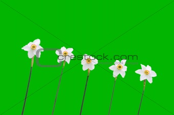 Daffodils over green background