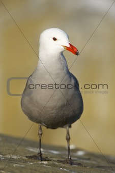 Heerman's Gull, Larus heermanni
